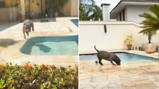 Pit Bull's favorite thing ever is jumping into the pool