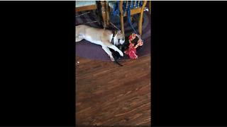 Gentle dog preciously entertains rescue kitten