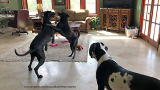 Great Danes have friends over for doggy dance party
