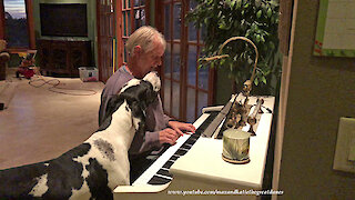 Great Dane Plays With Squeaky Toy While Listening To Piano Music