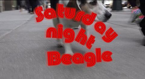 Beagle in the Big Apple! - SATURDAY NIGHT BEAGLE