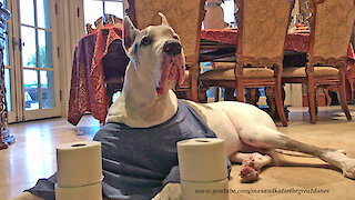 Talkative Deaf Great Dane Guards The Toilet Paper