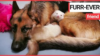 Ferret and German shepherd have become best friends