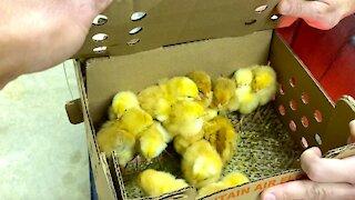 Super Easy Chicken Brooder