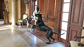 Funny Dancing Great Dane Watch Dogs