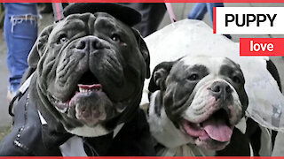 Two love-up bulldogs exchange 'bow vows' at their wedding