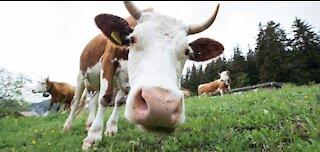 Best Cow Sound Effects with Video