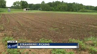 Strawberry picking season almost underway