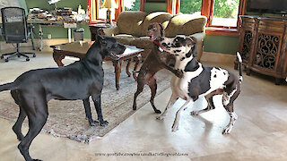 Talkative GSP Pointer Loves To Dance With Great Danes