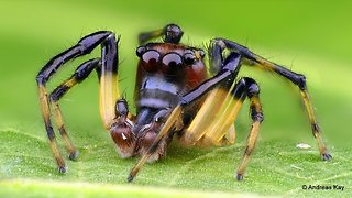 Cute little Jumping Spider with Boxing Gloves from Ecuador
