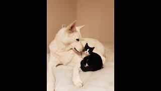 Kitty Playing With White Shepherd