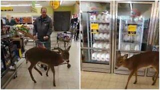 Veado invade supermercado nos EUA