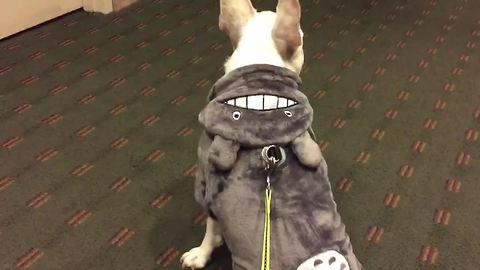 French Bulldog models 'Totoro' Halloween costume