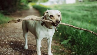 Funny, watch the dog try to insert the piece of wood