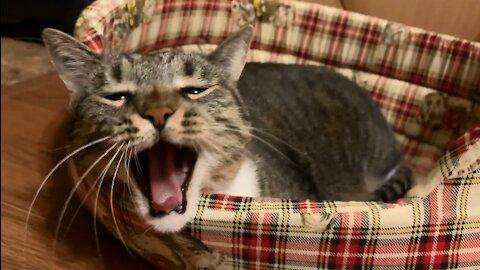 Prettiest Yawning House Cat