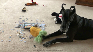 Guilty Great Dane looks puzzled at puzzle pieces mess
