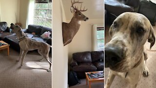 Great Dane can't stop barking at deer head on the wall