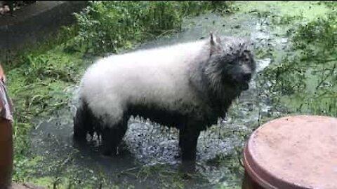 Hund med hvit pels leker i gjørme