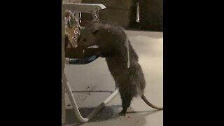 Funny Possum Eats Gingerbread House
