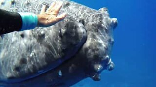 The magical moment between a humpback whale and a diver
