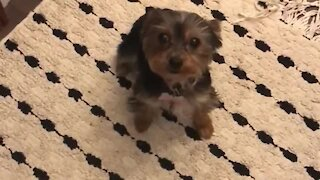 Yorkie puppy puts on spinning dance show for treats