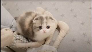 Cute kitten short leg