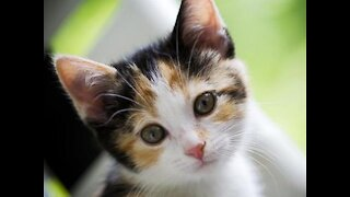 Calico Kitten playing with ball
