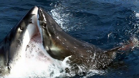 A Great White Shark Picks On Somebody His Own Size... Another Great White!