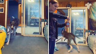 Puppy realizes owner is off work, can't stop doing zoomies
