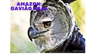 Amazon: Gavião Real