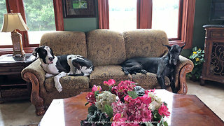 Sleepy Great Danes Love To Share the Sofa