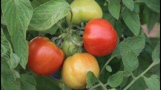 Glendale urban farm donating thousands of pounds of produce