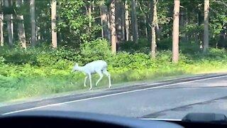 IN DEPTH: White deer in Wisconsin