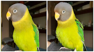 Cheerful parrot dances and whistles on owner's shoulder