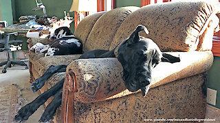Lazy Great Danes Enjoy A Sofa Snooze