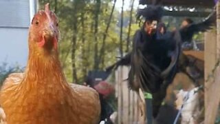 Daily chicken run for freedom!