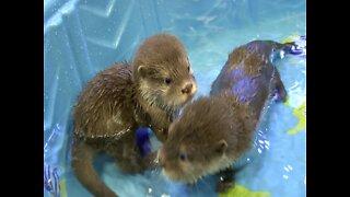 SPLASH! Wildlife World Zoo's Baby Otters' First Swim Lesson - ABC15 Digital