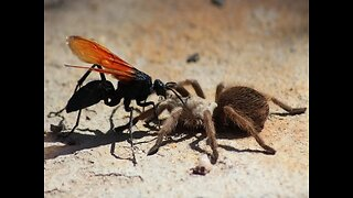 OUCH! 10 Things you need to know about the tarantula hawk wasp - ABC15 Digital