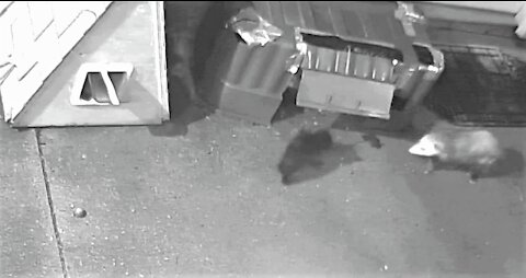 6 week old kitten defends family food from a opossum.🐈生後6週間の子猫がオポッサムから家族の食べ物を守る。