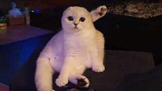 Curious cat pounces head-first into aquarium glass
