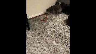Blind dog uses his other senses to play fetch