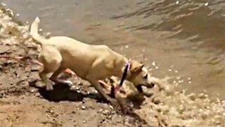 Energetic dog tries to bite waves