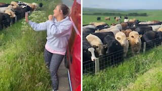 Cows gather round for a live singing performance