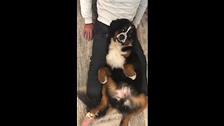 Bernese Mountain Dog adorably begs owner for massage