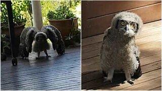 Hassu nuori pöllö luulee olevansa pelottava!