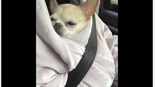 Chihuahua snuggles in owner's robe during car ride
