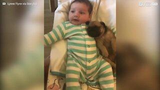 Questo tenero carlino dondola tra le braccia di un neonato