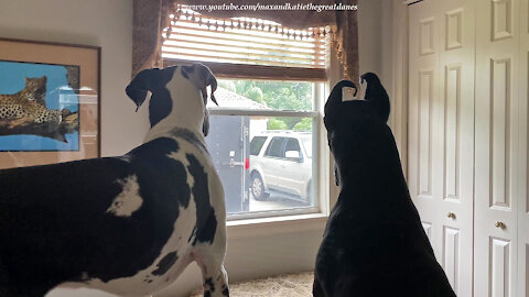Excited Great Danes wait for their owner to come home
