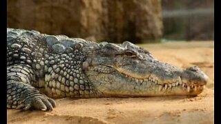 "Alligators do the ""bottle cap challenge"""