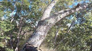 Massive oak removal part 2